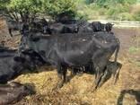 Бычки каровы бараны - photo 2