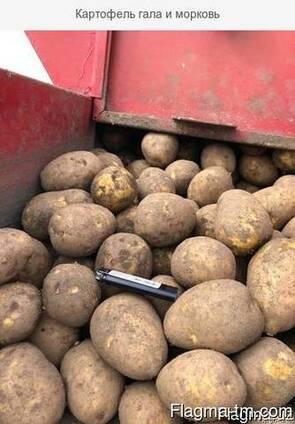 Картофель гала