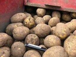 Картофель гала - photo 1