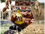 Livestock, ox gallstone and ostrich chicks - photo 1