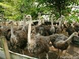 Ostrich egg - фото 3