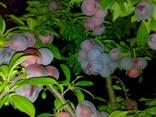 Саженци плодовых культур - photo 7