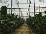 Современные тепличные комплексы для взращивания Бананов - Турция - photo 7